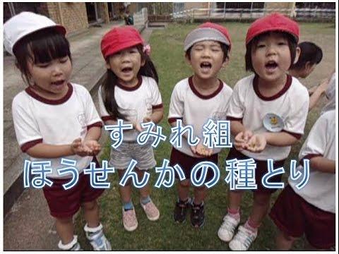 保育園の3歳児がほうせんかの種とりを体験。福井市私立保育園