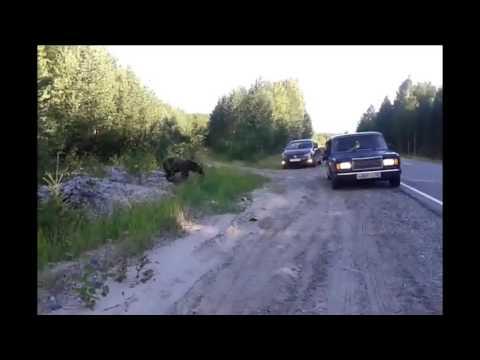Встреча с медведем, Советский район, 2016 г.