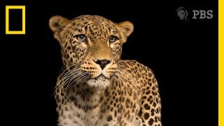 A Photo Session With One of the World's Rarest Big Cats | National Geographic