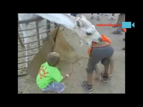I velbloud dokáže kousnout :D