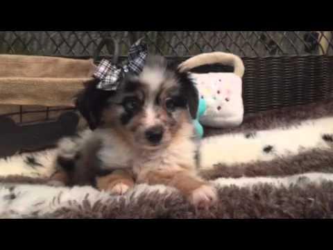 Blue merle, Mini Aussie puppy