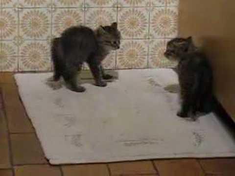 combat de chatons