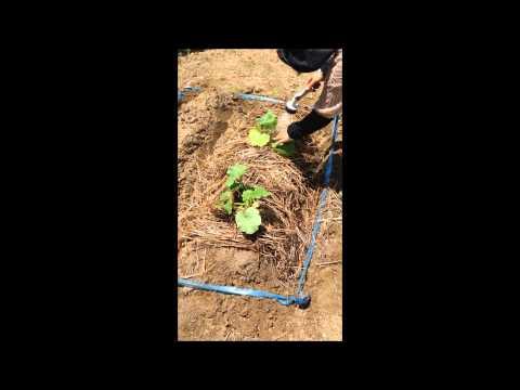 かぼちゃ南瓜カボチャの植え付け方 家庭菜園野菜栽培肥料の選び方