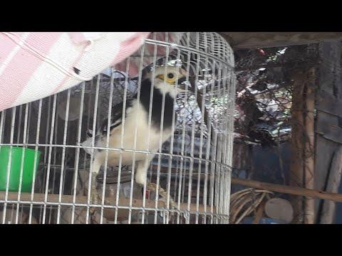 Cách thuần chim cưỡng và chăm sóc thật đơn giản