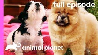 Chow Chow, Rhodesian Ridgeback, and Havanese Puppies | Too Cute! (Full Episode) by Animal Planet
