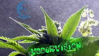 The Art of Cannabis Breeding by VaderVision
