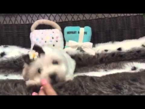 Fluffy & Loving Baby Girl Maltese!