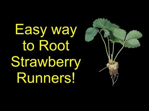 How To Root Strawberries