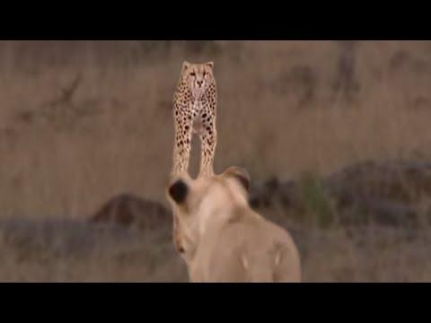 Nekat! Cheetah Mengejar Singa, Macan Tutul, Hyena, Gajah, Jerapah, Dan Lainnya