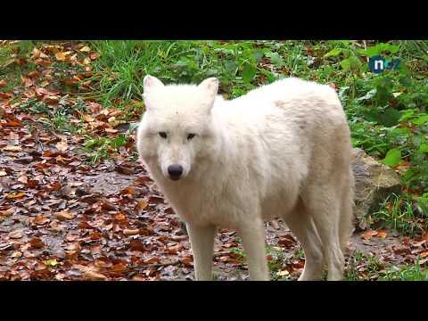 Osnabrück: Zoo Osnabrück - Hudson-Bay-Wölfe in Tier ...