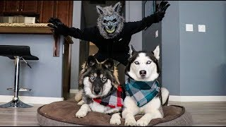 Video Scary Werewolf Prank On My Huskies! MP3, 3GP, MP4, WEBM, AVI, FLV Januari 2019