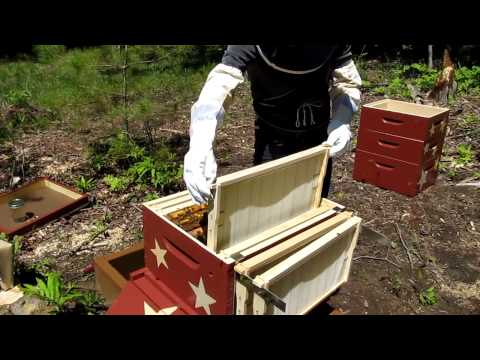 Backyard Beekeeping: Second nuc being moved into new hive