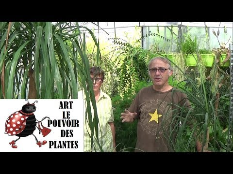 Conseils jardinage: beaucarnea: rempotage, l'entretien et l'arrosage: plante verte