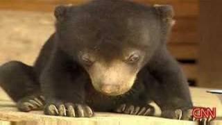 Video Sleepy Bear Can't Stay Awake MP3, 3GP, MP4, WEBM, AVI, FLV Mei 2017