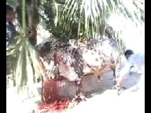 Bull's Anger at Eid ul Azha (Malir, Alfalah)