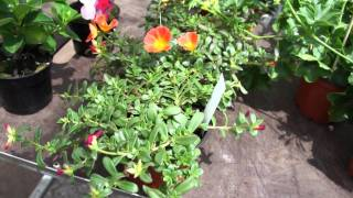 #375 Trockenheitsresistente Beet- und Balkonpflanzen (Dipladenien, Carex...)