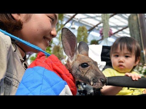 カンガルーの赤ちゃん人工飼育