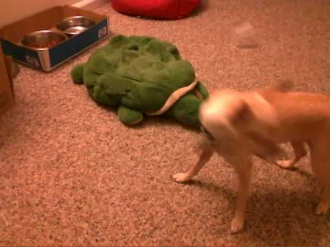 chihuahua barking at stinkbug