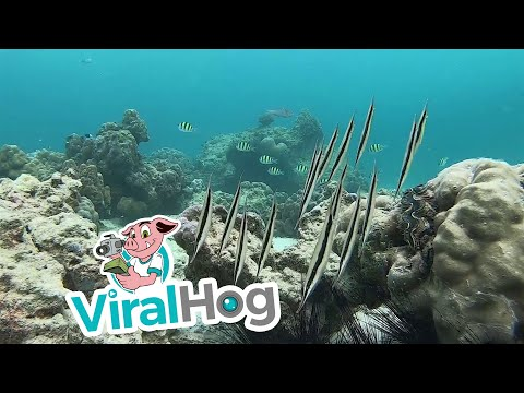 School of Rare Razor Fish