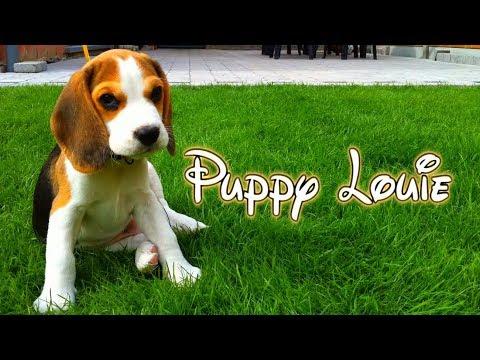 riprende il suo beagle nella crescita: da 8 settimane a 8 mesi!