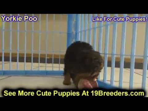 Video: Yorkie Poo, Puppies, Dogs, For Sale, In Louisville ...