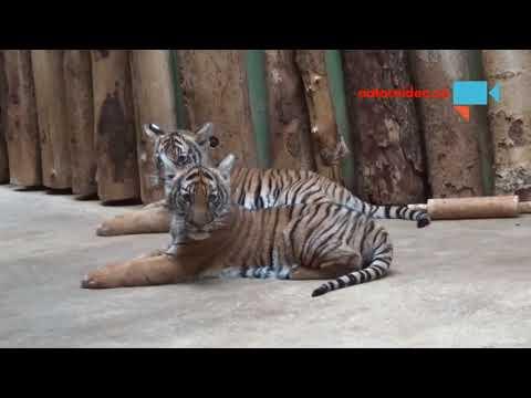 Tygří mláďata 2