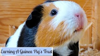 This video is about earning your guinea pigs' trust :) ●●●●●●●●●●●●●●●●●●●●●●●●●●●●●●●●●●●●●●●●u00adu00ad●●● Instagram: http://instagram.com/little.adventures4 Faceb...
