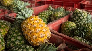 In just a few short years, Gold Coast Fruits, in the heart of Ghana's pineapple belt, have overcome pineapple plant diseases and ...