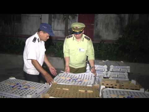 Đội QLTT số 1 Chi cục QLTT Nghệ An bắt giữ 9.000 con gia cầm không có giấy chứng nhận kiểm dịch