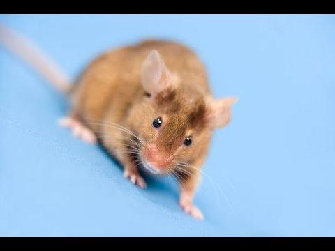 Videos caseros - Como ahuyentar los ratones de casa!