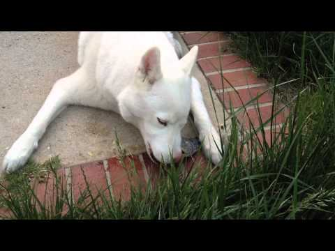 Husky Eating a Whole Fish – Raw Diet