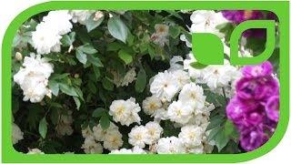 #410 Die dauerblühende Ramblerrose Snow Goose