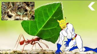 Pikasup - Ants Are Growing Food and They're Better at It Than We Are   Animal Planet  PikatalkBelieve it or not, ants started farming way before we did.