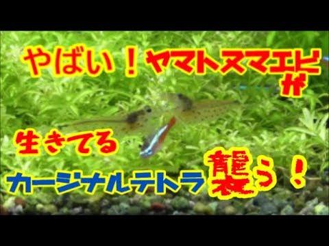 【アクアリウム】100匹のテトラ導入!おいおい!まさかカージナルテトラがヤマトヌマエビに襲われる! 導入時のリスク
