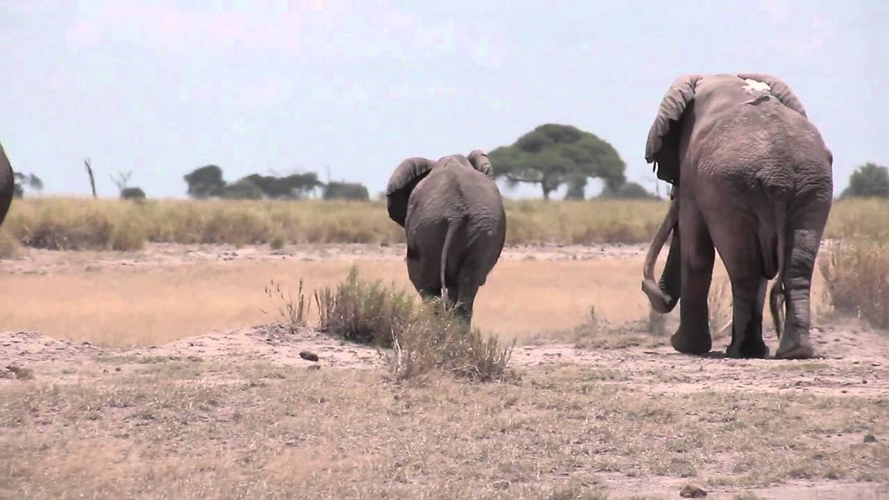 ELEPHANTS MATING IN AMBOSELI NATIONAL PARK. (Video Courtesy of National Geographic)