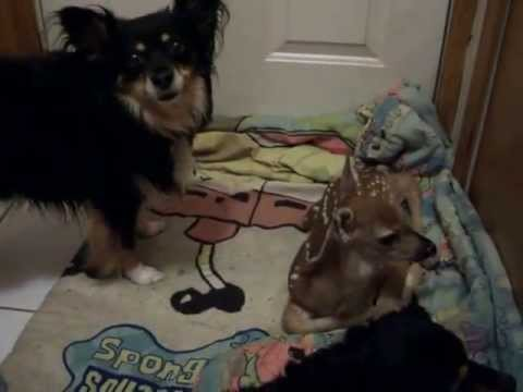 Baby Deer Meets Long-haired Chihuahuas