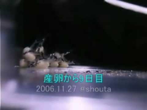 インペリアルゼブラプレコの孵化からの成長記録