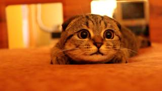 Scottish Fold Kitten On The Prowl