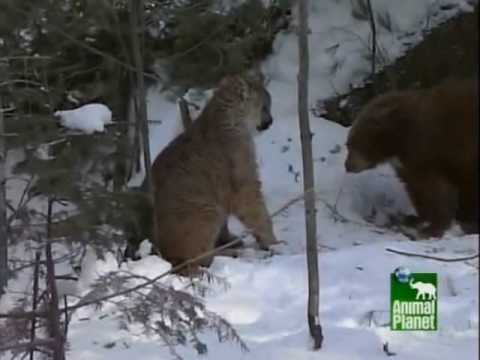 cougar - (rated G) fight between a cougar and sleepy bear.
