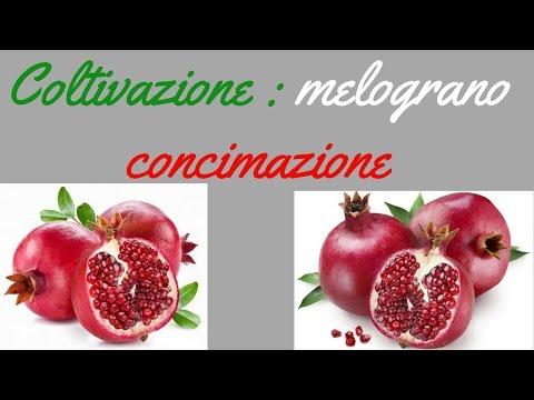 Coltivazione : melograno concimazione