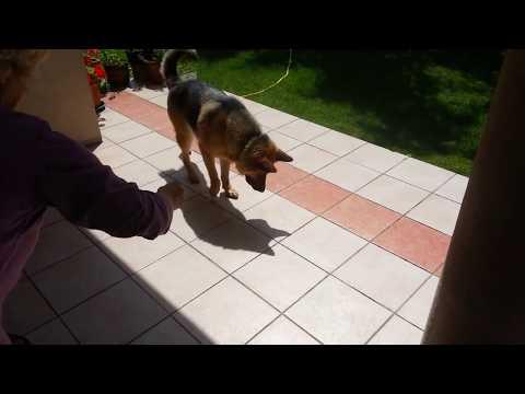pastore-tedesco-vs-ombra-261