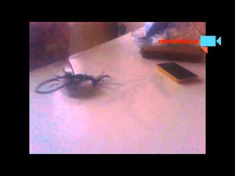 Opily pavouk