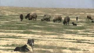 CENTRAL ASIAN OVCHARKA -- CENTRAL ASIAN SHEPHERD DOG - GUARD DOG - TURKMEN ALABAI - ABORIGINAL...
