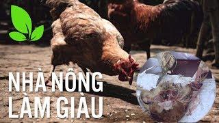 Nhà nông làm giàu | Mổ khám gà: Cách chẩn bệnh chính xác để chữa đúng thuốc