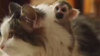The little monkey, born recently in Tyumen zoo, was rejected by its parents, and the zoo director decided to carry out an experiment and find another mother ...