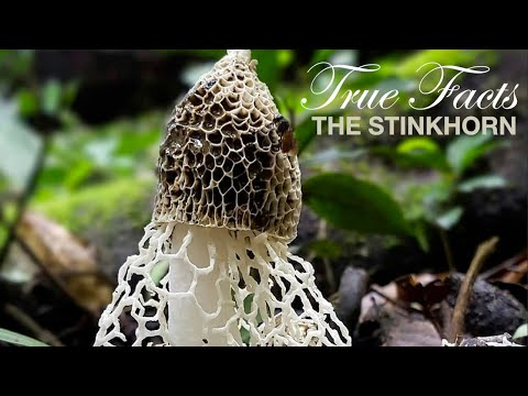 True Facts: Stinkhorns