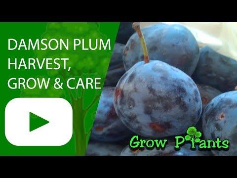 Damson plum tree - grow, care & harvest