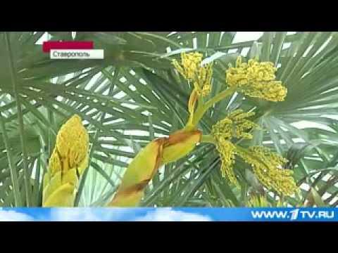 Цветение пальмы 1 канал