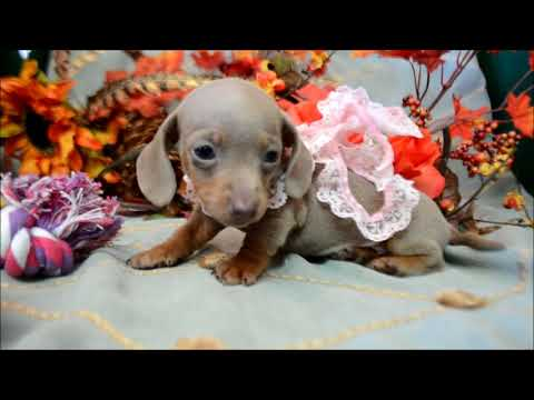 Keele AKC Isabelle Tan Female Miniature Dachshund Puppy for sale.