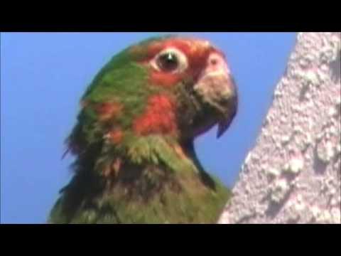 Wild parrots of Sunnyvale
